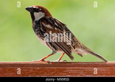 Mannetje Spaanse Mus Lesbos Griekenland, Male Spanish Sparrow Lesvos Greece - Stock Photo