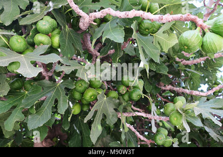 Ripening figs on tree in springtime - Stock Photo