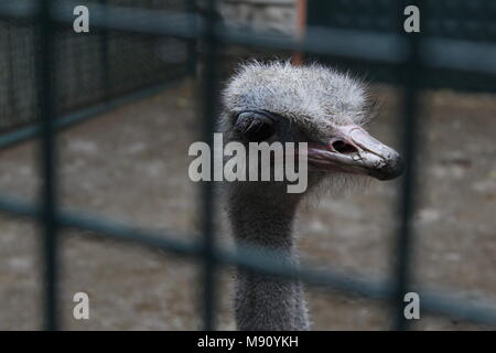 ostrich in cage zoo - Stock Photo