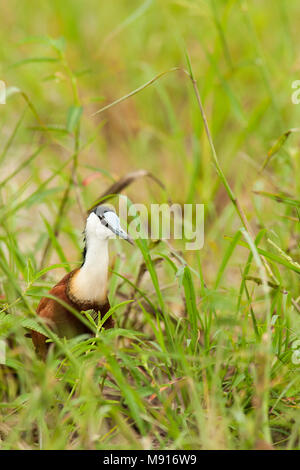 Lelie-loper in groene vegetatie, African Jacana in green vegetation - Stock Photo