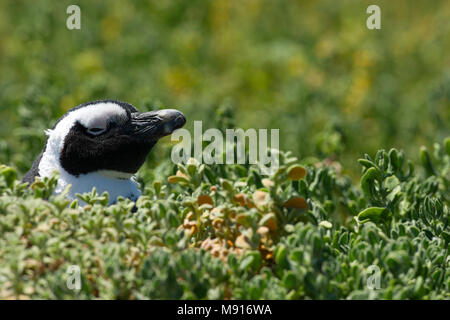 Zwartvoetpinguïn, Jackass Penguin - Stock Photo