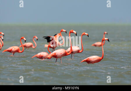Rode Flamingo een groep wadend Mexico, American Flamingo a flock wading Mexico - Stock Photo