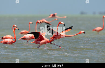 Rode Flamingo een groep opstijgend uit het water Mexico, American Flamingo a flock about to take-off from water Mexico - Stock Photo