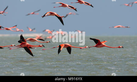 Rode Flamingo een groep in vlucht Mexico, American Flamingo a flock in flight Mexico - Stock Photo