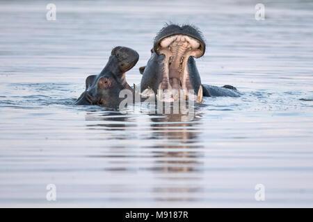 Hippopotamus at Dusk in the Moremi Game Reserv, Botswana. - Stock Photo