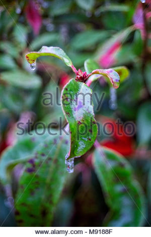 Red Robin Red Tip Photinia Red Tipped Photinia Fraser S