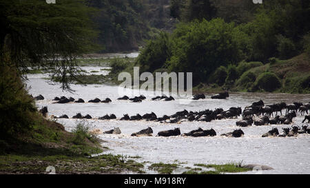 Herd of migrating wildebeest (Connochaetes taurinus) crossing Mara river.  Masai Mara game reserve. Kenya. - Stock Photo