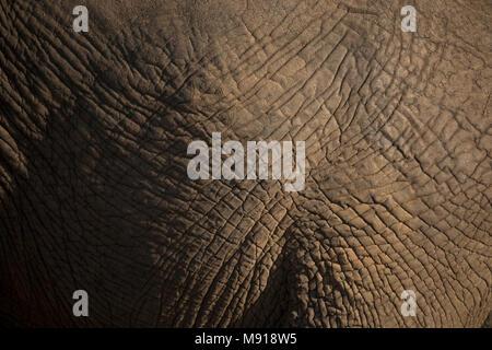 African Elephant (Loxodonta africana).  Close-up of skin. - Stock Photo