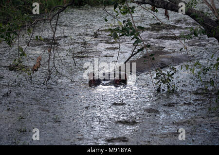 Hippopotamus (Hippopatamus amphibius)  in water.  Masai Mara game reserve. Kenya. - Stock Photo