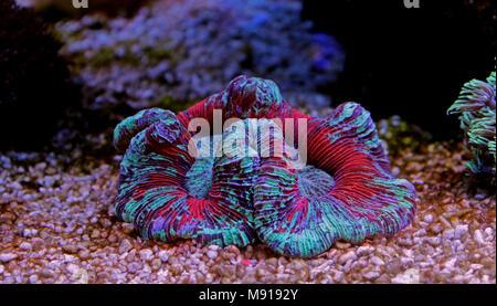 Open brain LPS coral in reef aquarium tank - Stock Photo
