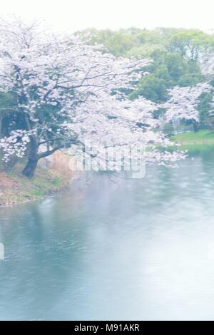 Landscape of Japanese White Cherry Blossoms around Pond waters - Stock Photo