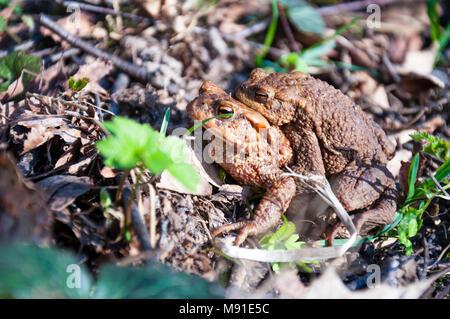 Common toads Bufo bufo pairing - Stock Photo