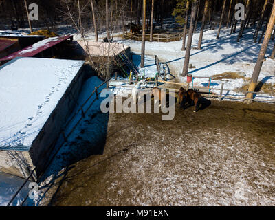 A street corral with white and brown horses, a stable stands in a pine forest on a warm spring day, snow everywhere - Stock Photo
