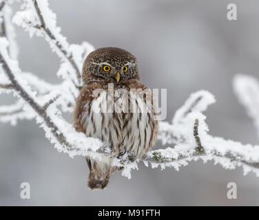 Dwerguil, Eurasian Pygmy Owl, Glaucidium passerinum - Stock Photo