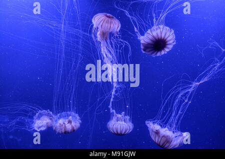 Floating jellyfish in the aquarium - Stock Photo