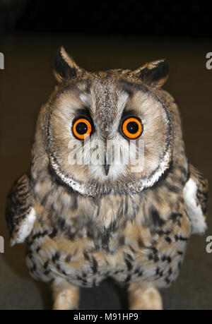 Long Eared Owl Asio otus Face Shot - Stock Photo