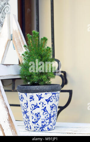 Abies small tree growing in flowerpot. Christmas tree in pot - Stock Photo