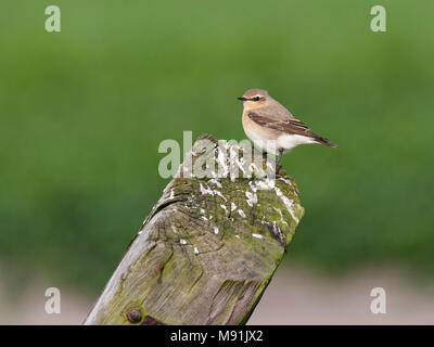 Vrouwtje Tapuit op een houten paal, Female Northern Wheatear on a wooden pole - Stock Photo