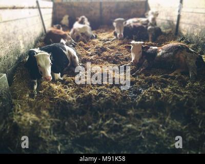 Cows lie in a barn