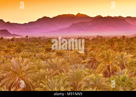 Date palms at dusk, Sierra de Guadalupe in distance, Mulege, Baja California Sur, Mexico - Stock Photo