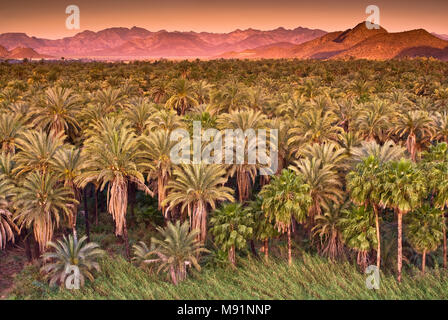 Date and fan palms at sunrise, Sierra de Guadalupe in distance, Mulege, Baja California Sur, Mexico - Stock Photo