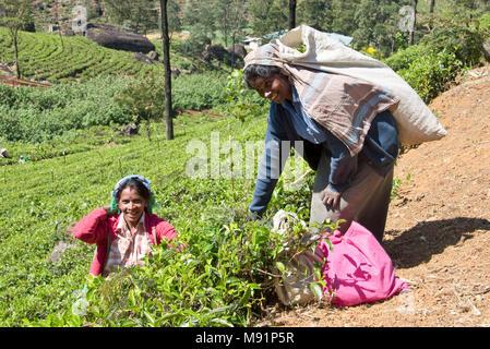 2 friendly happy smiling local tea pickers near Nuwaraeliya Nuwara Eliya in Sri Lanka pose for the camera on a sunny day while picking tea. - Stock Photo