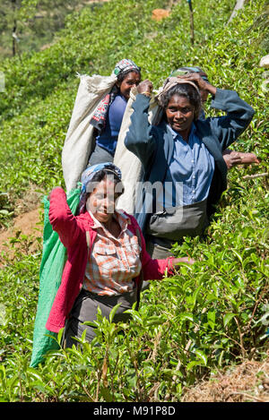 A group of 3 local tea pickers near Nuwaraeliya Nuwara Eliya in Sri Lanka pose for the camera on a sunny day while picking tea. - Stock Photo