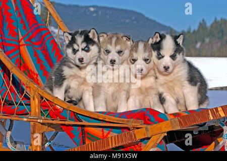 Siberian Husky, four adorable puppies, six weeks old together in dogsled - Stock Photo