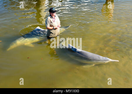 Tin Can Bay, Queensland, Australia - December 24, 2017. Barnacles Dolphin Centre volunteer standing in the water with two Australian Humpback dolphins - Stock Photo