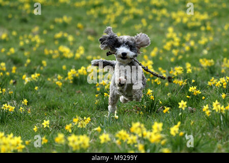 Peterborough, Cambridgeshire, on March 21, 2018. Spring is finally making an appearance as Cookie the cockapoo dog plays amongst these yellow mini-daffodils in Peterborough, Cambridgeshire, on March 21, 2018. Credit: Paul Marriott/Alamy Live News - Stock Photo