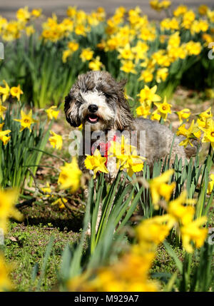 Peterborough, Cambridgeshire, on March 21, 2018. Spring is finally making an appearance as Cookie the cockapoo dog stands amongst these yellow daffodils in Peterborough, Cambridgeshire, on March 21, 2018. Credit: Paul Marriott/Alamy Live News - Stock Photo