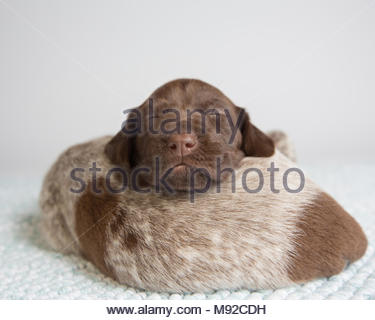 Two german shorthaired pointer puppies sleeping on top of each other in studio against white background - Stock Photo