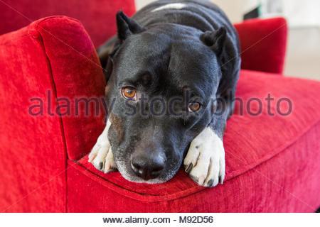Pitbull with sad brown eyes resting face on its paws lying down in a red chair - Stock Photo