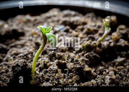 Young Cannabis Growing in soil - Stock Photo