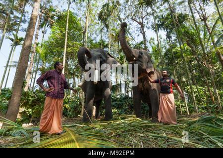 Two elephants at Thekkady, Periyar, Kerala, India used to take tourists on rides. - Stock Photo