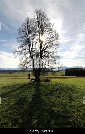 zweistämmige Linde beim Dorf Frühling in der Spätherbstsonne * - Stock Photo