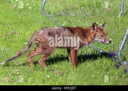 Male red fox (Vulpes vulpes) with severe mange, Leighton Buzzard, Bedfordshire, UK. - Stock Photo