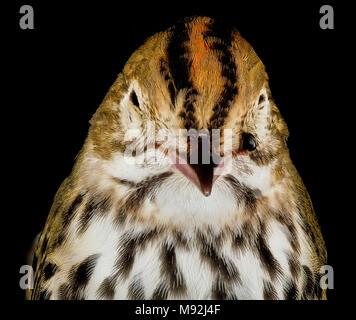 Seiurus aurocapilla, U, face - Stock Photo