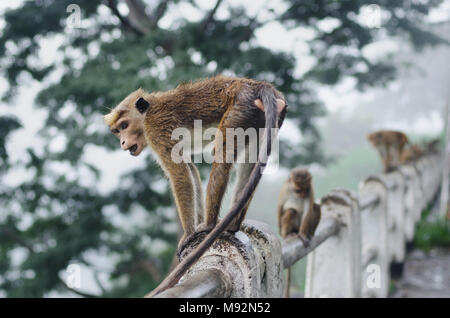Monkey sitting and resting on the stone - Stock Photo