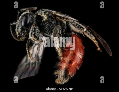 Sphecodes species, F, Side, MD, Cecil County - Stock Photo