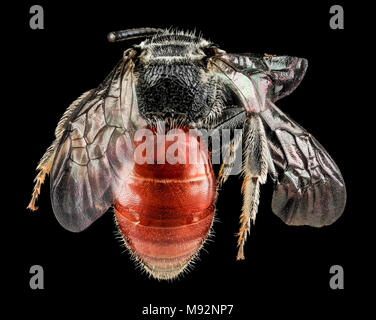 Sphecodes species, F, Back, MD, Cecil County - Stock Photo