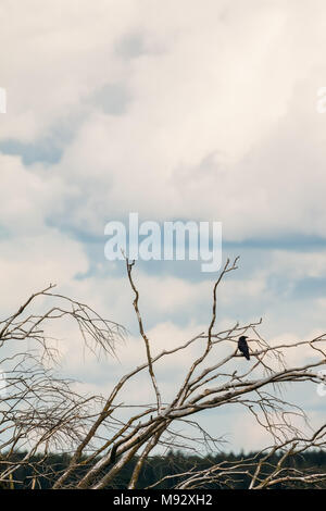 Lonely crow on a branch of a dry old tree against a cloudy sky in the nature - Stock Photo