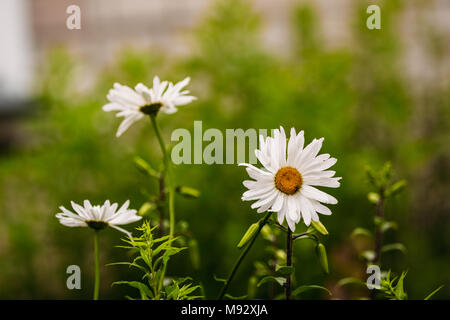 Field chamomiles in the garden on a green background - Stock Photo