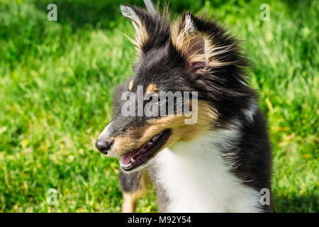 Sheltie puppy close-up. Purebred dog on a background of green grass - Stock Photo