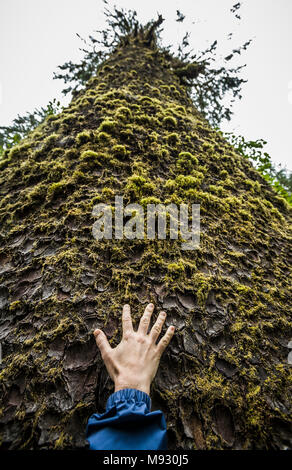 A hand and arm reaching upward at the base of an enormous Sitka Spruce tree in The Hoh River Rain forest, Olympic Peninsula, Washington State, USA. - Stock Photo