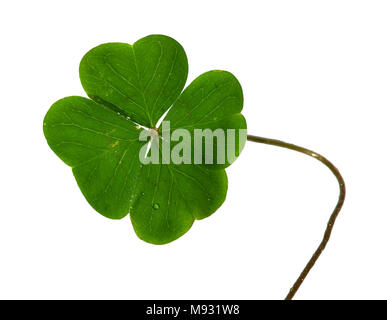 Natural and irregular shamrock, or four leaf clover, and stem isolated over a white background. - Stock Photo