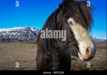 Icelandic horse, beautiful blue eyed chestnut pony in a wintry Icelandic landscape. - Stock Photo