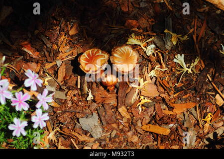 Small growth of mushrooms in a mulch covered Garden - Stock Photo