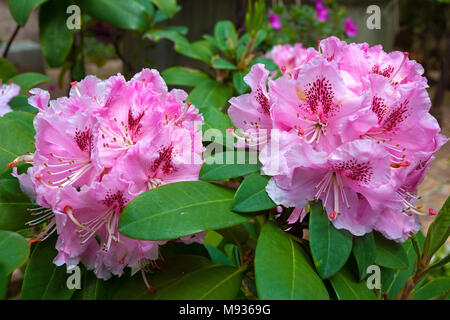 Azalee, Rhododendron, flowering, garden at Villa Ephrussi de Rothschild, Cape Ferrat, South France, Var, Cote d'Azur, France, Europe - Stock Photo
