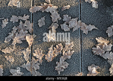 Fallen, frozen brown Oak leaves scattered on the pavement in the sunlight - Stock Photo